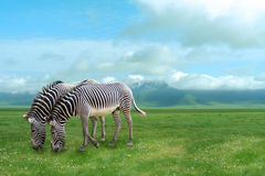 Free Zebras Stock Photo - 4789460