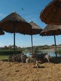 Zebras Stock Foto