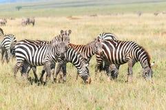 Zebras Fotografia de Stock Royalty Free