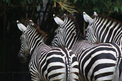Zebras Lizenzfreie Stockfotografie