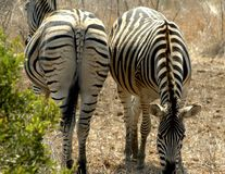 Zebras. Two African Zebras, one shown from rear, the other one from front Royalty Free Stock Photo