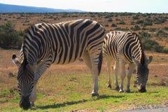 Zebras Stock Fotografie