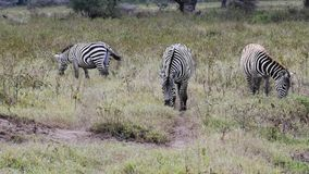 Zebras stock footage