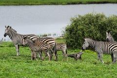Zebras Stockfoto