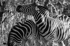 Zebras Fotos de Stock Royalty Free