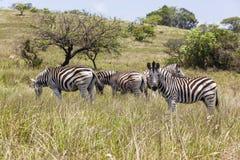 Zebras Royalty-vrije Stock Fotografie