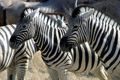 Zebras. And their beautiful patterns Stock Photography