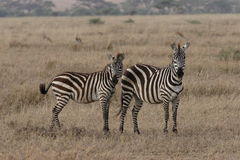 Zebras. Two Zebras. The photo was taken in Ngorongoro crater Stock Image
