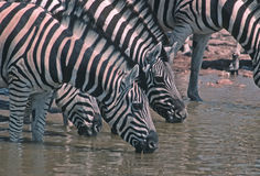 Zebras. Burchell's zebras at waterhole Royalty Free Stock Images