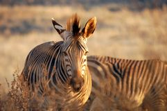 Zebras. African Zebras taken in late afternoon sun Royalty Free Stock Photos