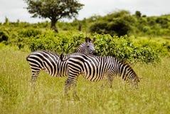 Zebras Stock Photos