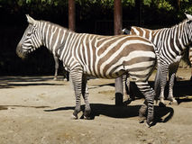 Zebras Royalty-vrije Stock Foto