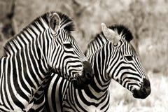 Zebras Στοκ Εικόνες