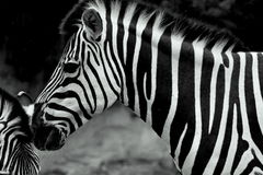 Zebras. In a natural habitat royalty free stock image