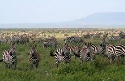 Zebras. Hundreds of zebras grazing in the field Stock Images