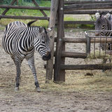 Zebras Foto de Stock