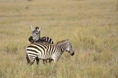 Zebras Στοκ φωτογραφίες με δικαίωμα ελεύθερης χρήσης