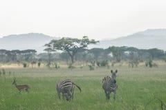 Zebras Lizenzfreies Stockfoto