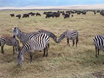 Zebras. Africa Royalty Free Stock Images
