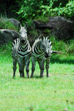 Zebras Fotos de Stock