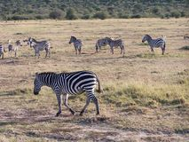 Zebras. Africa Royalty Free Stock Photo