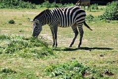 Zebras Fotos de Stock Royalty Free