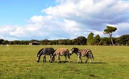Zebras imagem de stock