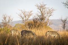 Zebras Στοκ εικόνες με δικαίωμα ελεύθερης χρήσης