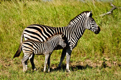 Zebras. Mother and baby zebra in the wild Stock Photo