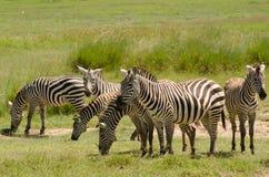 Zebras in Aberdare, Kenia Stock Foto