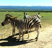 Zebras in Addo Stock Fotografie