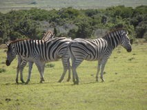 Zebras at Addo. Addo Elephant Park, South Africa. The zebras in the park are the true savannah zebras with their shadow lines stock photos