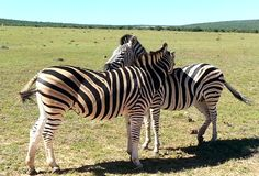 Zebras at Addo. Addo Elephant Park, South Africa. The zebras in the park are the true savannah zebras with their shadow lines royalty free stock photography