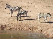 Zebras in Addo, Zuid-Afrika Stock Afbeeldingen