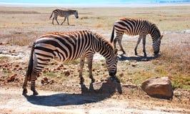 Zebras in Africa Royalty Free Stock Photo