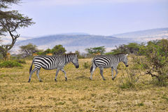 Zebras in Africa. Two zebras walking through field in Africa Royalty Free Stock Image