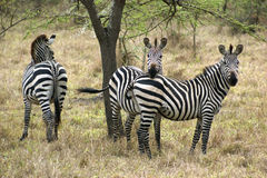 Zebras in Africa Royalty Free Stock Photography