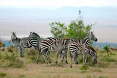 Zebras in Africa. Zebras in Maasai Mara royalty free stock photos