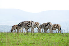 Zebras in africa stock photo