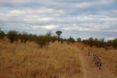 Zebras in Africa royalty free stock image