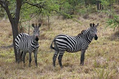 Zebras in Africa Royalty Free Stock Photo