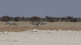 Zebras in african bush stock video
