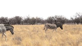 Zebras in african bush stock video footage