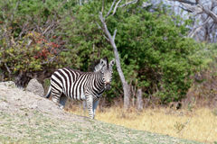 Zebras in african bush Royalty Free Stock Photography