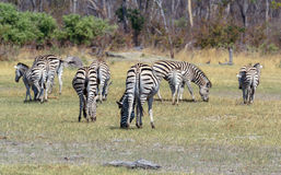 Zebras in african bush Royalty Free Stock Photos