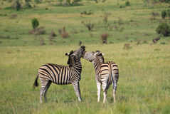 Zebras on african grass plains Stock Image