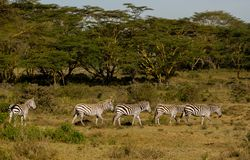 Zebras herd in savanna. Zebras in African savana on dry grass at safari game wild nature national parks of Kenya and Tanzania stock photography