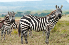Zebras in african savanna Royalty Free Stock Images