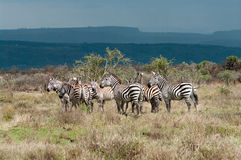 Zebras in african savanna Royalty Free Stock Photos