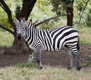 Zebras in african savanna. The zebra in african savanna Royalty Free Stock Photography